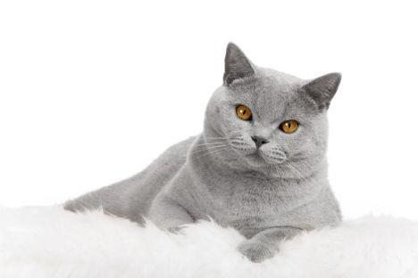 beau chat gris.