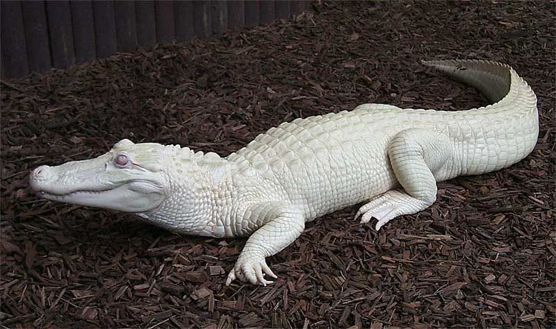 Autres animaux marins Albinos Cylp4b25