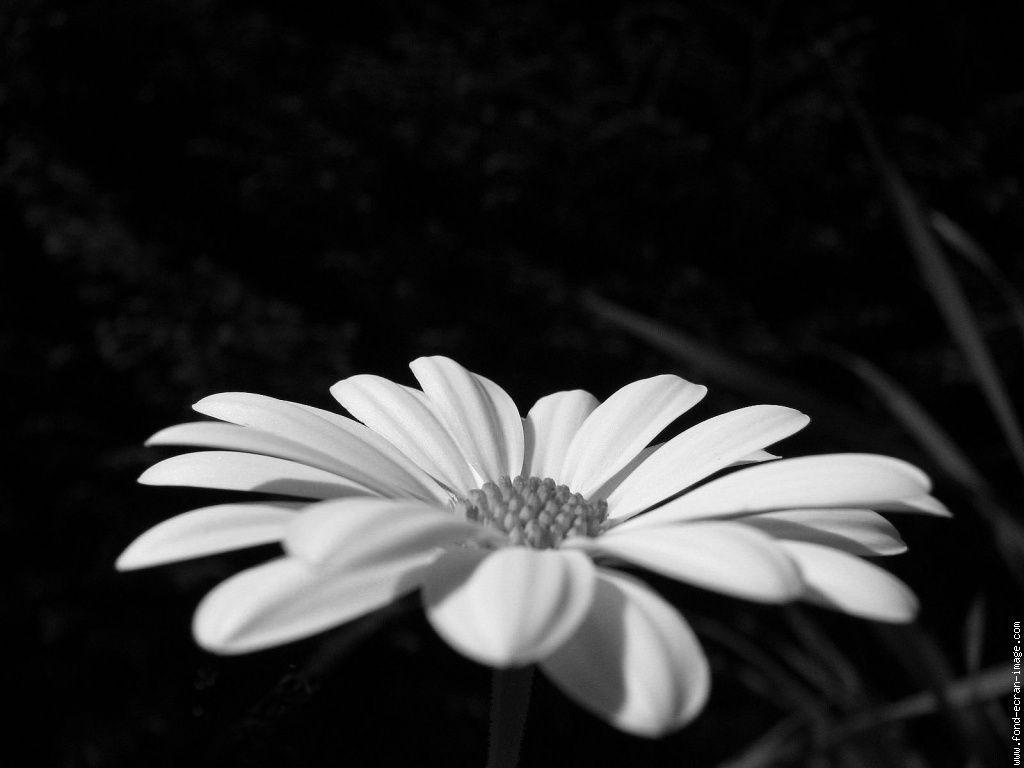 Noir et blanc page 6 Fleur noir et blanc