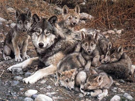 famille de loups  mignon non...